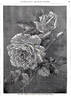 Viscountess Folkestone rose photo