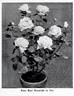 Frau Karl Druschki rose photo