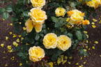Gold Dust rose photo