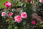 Nitouche ® rose photo
