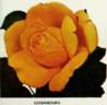 Grande Duchesse de Luxembourg rose photo