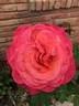 Lady Bird rose photo