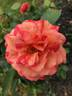 Frida Kahlo ™ rose photo