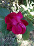 Purpurea rose photo