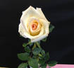 Peter Cottontail ™ rose photo