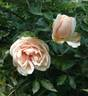 Solfatare rose photo