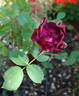 Kathrinerl rose photo