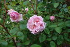 Rhodologue Jules Gravereaux rose photo