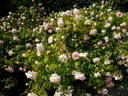 Fritz Nobis rose photo