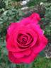 Alec's Red® rose photo