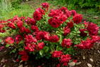 Roter Drache rose photo
