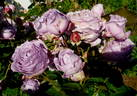 Novalis rose photo
