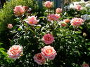 Fantasia Mondiale ® rose photo
