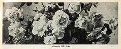 Alexander Hill Gray rose photo
