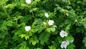 <i>Rosa rugosa</i> 'Alba' rose photo