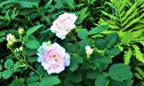 Great Maiden's Blush rose photo