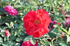 Adelaide Hoodless rose photo