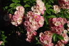 Apple Blossom rose photo