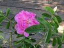 Autumn Damask rose photo
