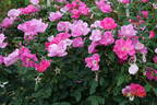 Pink Knock Out rose photo