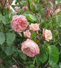 Baronne Henriette Snoy rose photo