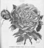 Antonine d'Ursel rose photo