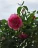 Ruhm von Steinfurth rose photo