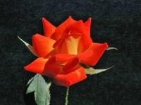 Orange Sunset rose photo