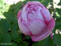Queen Victoria rose photo