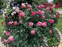 Neil Diamond rose photo