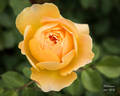 Molineux rose photo