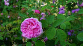 Cristata rose photo