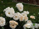 Lions-Rose ® rose photo