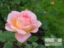 Abraham Darby rose photo