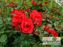 Andalusien ® rose photo