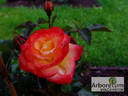 Firebird® rose photo