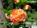 Decor Arlequin rose photo