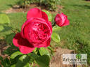 Alain Souchon ® rose photo