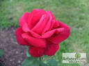 Oklahoma (Hybrid Tea, Swim rose photo