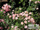Sommerwind ® rose photo