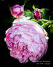 Charles Rennie Mackintosh rose photo