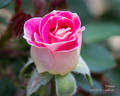 Whimsy rose photo