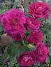 Rose Anil rose photo