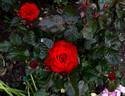 Glad Tidings rose photo