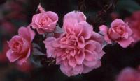 Antique Rose ™ rose photo