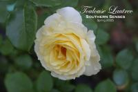 Toulouse-Lautrec ® rose photo
