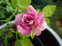 Rainforest rose photo