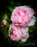 Scepter'd Isle rose photo