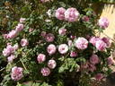 Florence Ducher ® rose photo