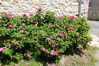 Rosa gallica 'Officinalis' rose photo